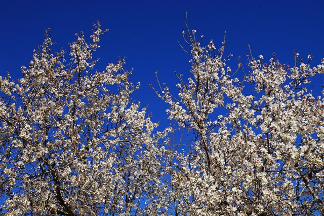 Almond blossom against the sky