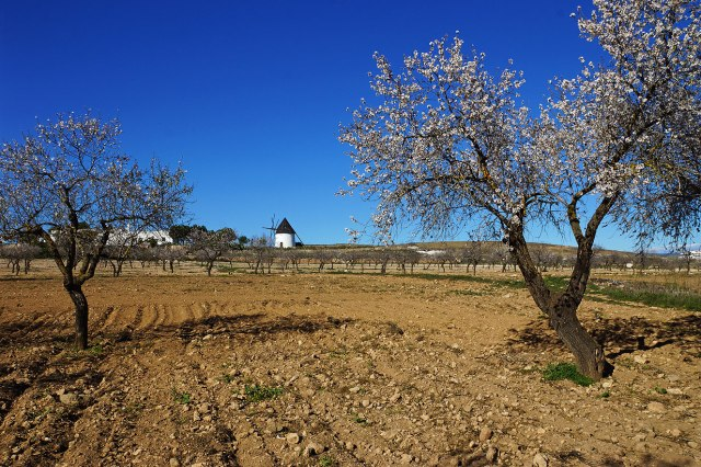 Almond trees and old mill