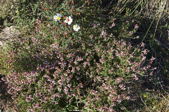 Thyme and helianthemum