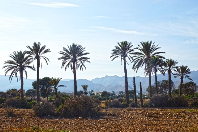 Palm trees in El Valle